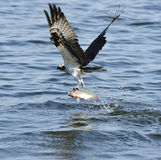 Osprey Catching Fish Stock Photography