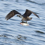 Osprey Catching Fish Royalty Free Stock Photography