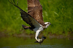 Osprey catching fish. Flying osprey with fish. Action scene with osprey in the nature water habitat. Osprey with fish in fly. Bird Royalty Free Stock Image