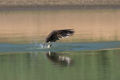 Osprey catching fish from the lake. Royalty Free Stock Image