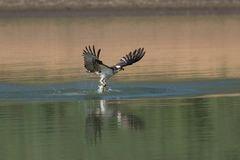 Osprey catching fish from the lake. Stock Photo