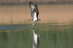 Osprey catching fish from the lake. Stock Image