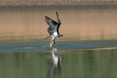 Osprey catching fish from the lake. Royalty Free Stock Photography