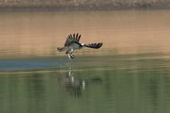 Osprey catching fish from the lake. Stock Images