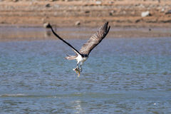 Osprey catching a fish Royalty Free Stock Images