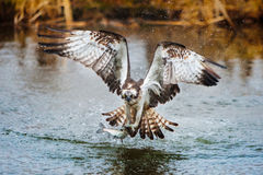 Osprey catching a fish. From a pond royalty free stock photos