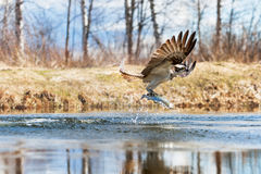 Osprey catching a fish. From a pond stock image