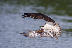 Osprey catching fish Stock Images