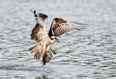 Osprey catching fish Royalty Free Stock Photo