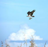 Osprey with catfish dinner Royalty Free Stock Photo