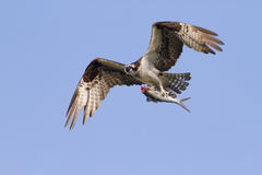 Osprey with the caught. stock photography