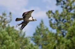 Osprey che trasporta durante il volo un pesce Immagini Stock