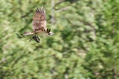 Osprey che trasporta durante il volo un pesce Fotografie Stock