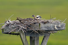 Osprey Chick Royalty Free Stock Photos