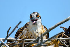 Osprey Chick Royalty Free Stock Image