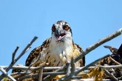 Osprey Chick Royalty Free Stock Image