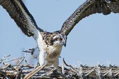 Osprey Chick Flapping Wings Fotografía de archivo libre de regalías