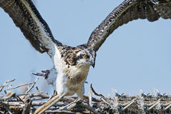 Osprey Chick Flapping Wings Royalty Free Stock Photography