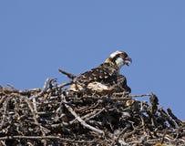 Osprey Chick Royalty Free Stock Photography