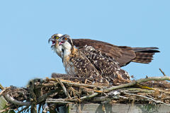 Osprey And Chick Royalty Free Stock Images