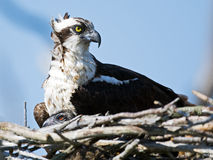 Osprey And Chick Stock Photography
