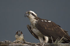 Osprey And Chick Royalty Free Stock Image