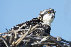 Osprey Chick Stock Images