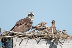 Osprey And Chicks Royalty Free Stock Image