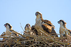 Osprey And Chicks. Osprey and three chicks sitting in a natural nest Royalty Free Stock Photo