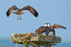 Osprey Chicks Royalty Free Stock Photos