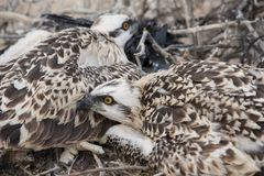 Osprey chicks in a nest Royalty Free Stock Images