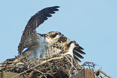 Osprey Chicks Royalty Free Stock Images