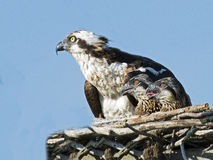 Osprey And Chicks Stock Image
