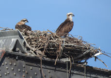 Osprey with chicks Royalty Free Stock Photography