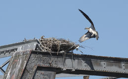 Osprey with chicks Royalty Free Stock Photos