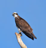 Osprey close-up Royalty Free Stock Photos