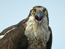 Osprey Close-up Stock Images