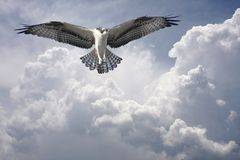 Osprey in the Clouds before the Storm Royalty Free Stock Photo