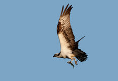 Osprey com peixes Foto de Stock Royalty Free