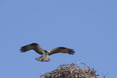 Osprey coming into land Royalty Free Stock Photography