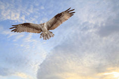 Osprey Coming in for a Landing Royalty Free Stock Image