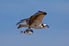 Osprey como o predador Fotografia de Stock Royalty Free