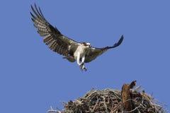 Osprey con catturato. Fotografia Stock