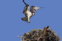Osprey con catturato. Fotografie Stock