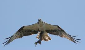 Osprey con i pesci Immagini Stock
