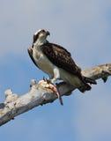 Osprey con los pescados. Foto de archivo