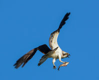 Osprey con los pescados Foto de archivo