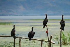 Osprey in Dali Erhai Lake Royalty Free Stock Images