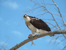 Osprey, dans le sauvage Image libre de droits