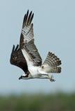 Osprey de vol Photographie stock libre de droits